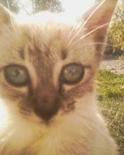 Pisicuta birmaneza-metis.2 luni.
