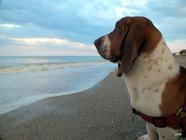 Caut femela basset hound