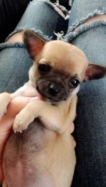 Pui frumos Chihuahua pentru relocării