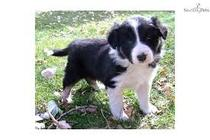 Gratis Pui de Border Collie