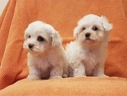 Pedigree Teacup Maltese Puppies