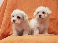 Pedigree Teacup Maltese Puppies