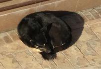 Pierdut caine lup negru