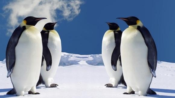 O nouă specie de pinguini, de acum 40 de milioane de ani