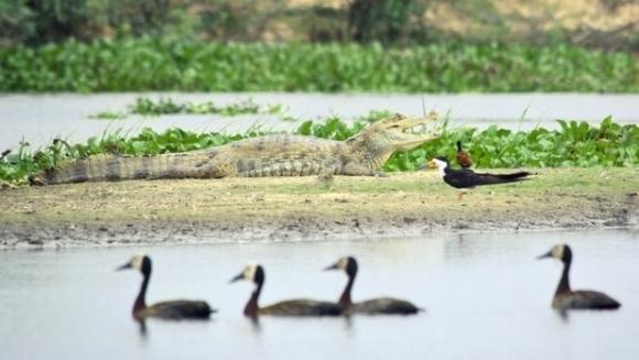 Crocodilii - rude apropiate ale păsărilor! De ce arată atât de diferit de acestea?