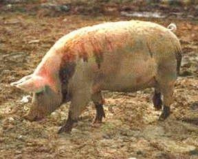 Trichineloza - Bolile pe care omul le poate lua de la porc