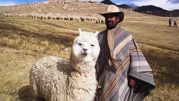 Alpaca - animalul bland si pufos