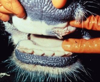 Febra aftoasa la animale