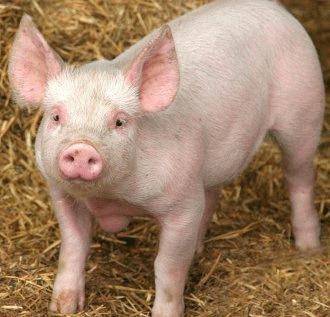 Boli la porci: Rujetul sau branca