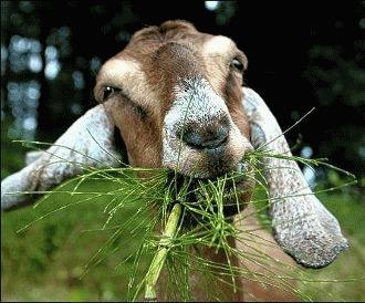 Curiozitati despre capre