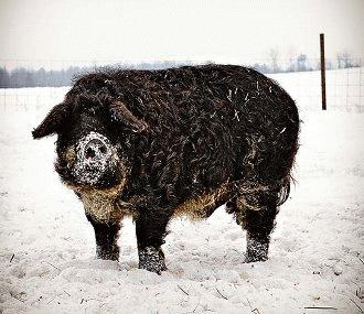 Mangalita, porcul lanos cu grasime `de somon`