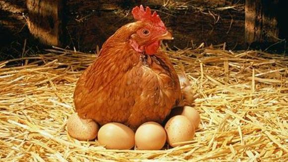 Ouăle sunt bogate în … suferinţă. Cruzimea din fermele de găini ouătoare