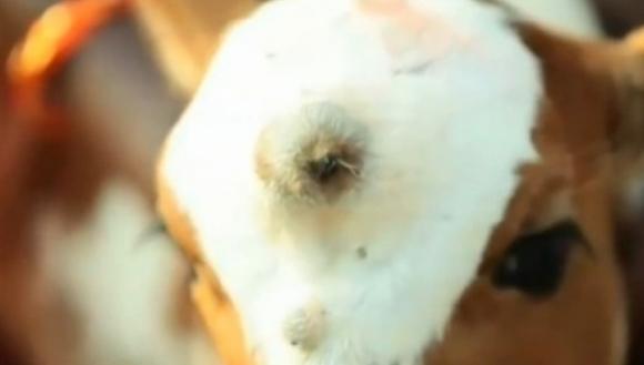 În India s-a născut o vacă ce are trei ochi