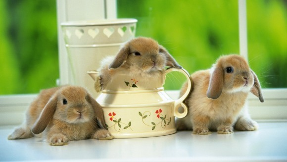 Pododermatita la iepuri - cauze, simptome, tratament