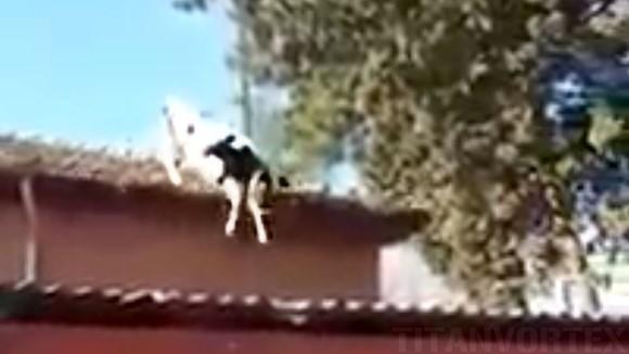 Vaca ce iubeşte sporturile extreme – a sărit de pe acoperiş, direct în grajd! Ce căuta acolo?! VIDEO