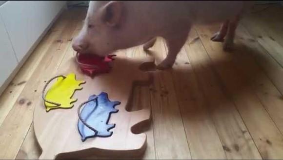 Porcuşorul isteţ rezolvă un puzzle în mai puţin de un minut – VIDEO