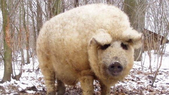 Cei mai ciudaţi porci? Arată ca nişte oi şi se comportă ca nişte câini - Galerie Foto