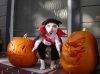 Si cainii se pregatesc de Halloween
