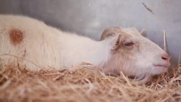 O capră face grevă. Motivul? Suferă după un măgar (Video)