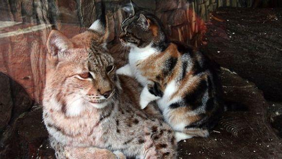 Linxul de la zoo şi pisica vagaboandă