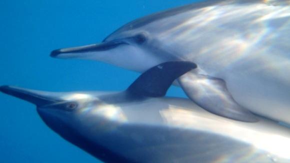 Ritualul de înmulţire al delfinilor? Un dans impresionant - VIDEO