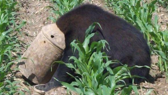 Ursul păcălit de... o găleată cu lapte