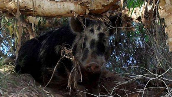 """Un porc sălbatic a furat 18 beri, s-a îmbătat şi """"s-a luat la harţă"""" cu o vacă"""