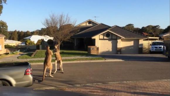 S-a lăsat cu knockout? Bătălia dintre doi canguri în mijlocul străzii – VIDEO