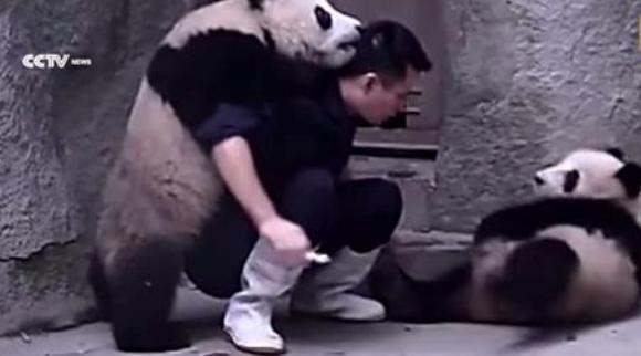 Doi pui de panda îşi refuză tratamentul în cel mai dulce mod posibil