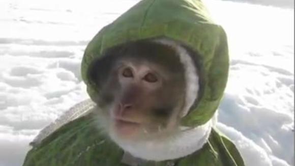 Clipul care s-a viralizat instant: reacţia unei maimuţe când vede pentru prima dată zăpada