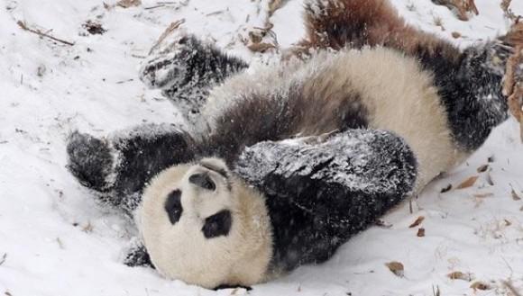 Ursul panda şi zăpada? Distracţie pe cinste