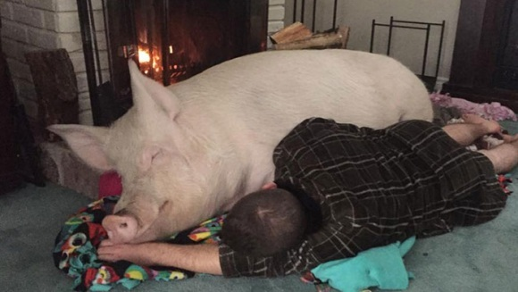 Au vrut un mini porc de companie, însă s-au trezit cu un animal de 300 de kg - FOTO