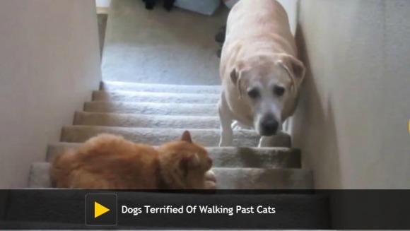 """""""Pe aici nu se trece!"""" Câini intimidați de pisici"""