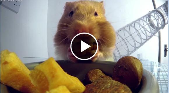 Hamsterul mâncăcios: cât de repede își înfulecă mâncărica - VIDEO