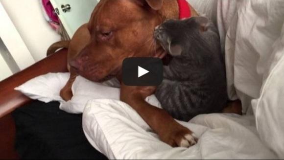 Puiul de pisicuță și pitbullul uriaș se joacă în cel mai adorabil mod – VIDEO