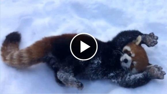 Cum se bucură doi urși panda roșii de zăpadă? C