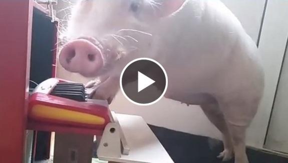 Porcușorul care cântă la pian – VIDEO