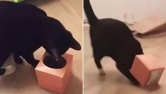 Curiozitatea a omorât pisica? Nu, i-a blocat capul într-o cutie! VIDEO