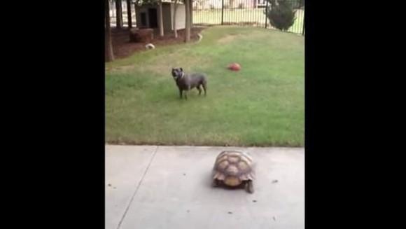 Fabulos! Țestoasa care aleargă un pitbull; și pitbullul care chiar fuge de o țestoasă! - VIDEO