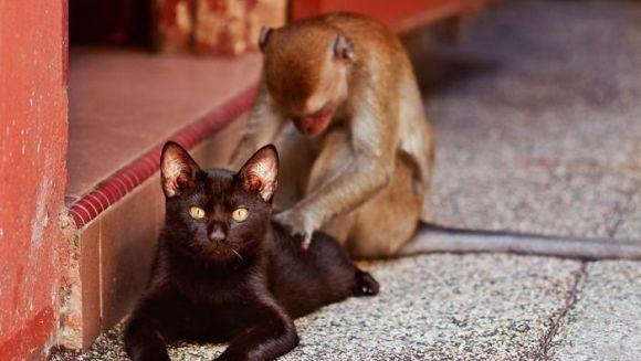 Nașul nașilor: maimuțe care cicălesc pisici și câini