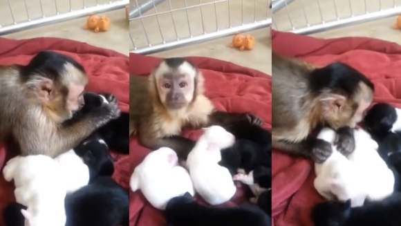 Ce se întâmplă când o maimuță vede niște pui de cățeluș? Clipul care ne îți va ridica semne de întrebare!