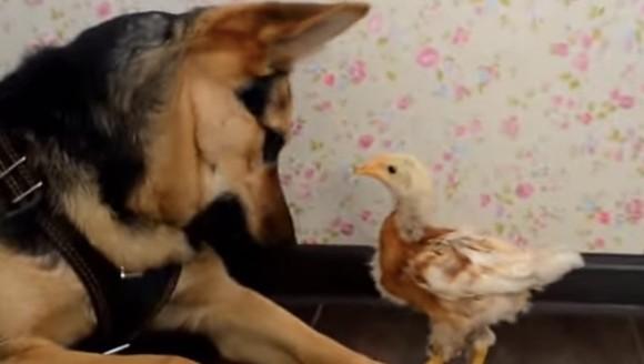 Prietenie neobișnuită: joaca dintre un ciobănesc german și un puișor - VIDEO