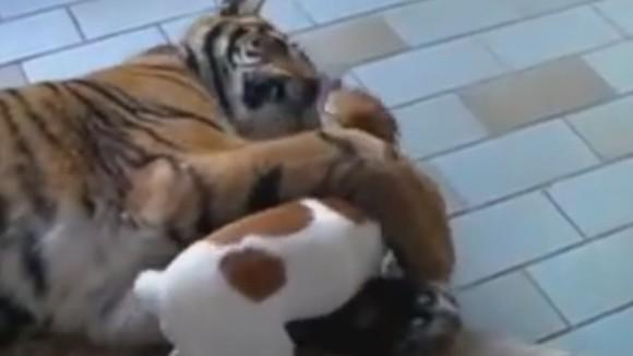 Ce se întâmplă când un cățeluș se repede la un tigru? Rămâi fără cuvinte... VIDEO