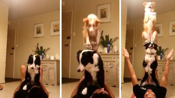 Câinii au talent! Cel mai tare truc canin este făcut de doi Border Collie, împreună cu stăpânul lor – VIDEO