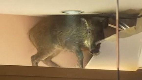 S-au trezit cu porcul mistreț căzând din tavan – VIDEO