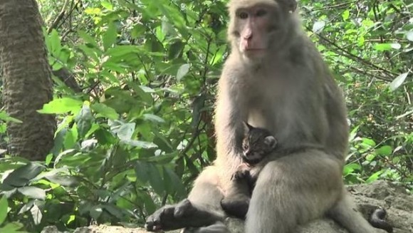 Sentimente materne la superlativ: un macac a adoptat o pisicuță orfană - VIDEO