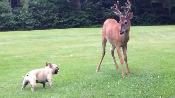 Un pui de căprioară vrea să se joace cu un cățeluș. Așteptați să vedeți ce se întâmplă în minutul 1.18 – VIDEO