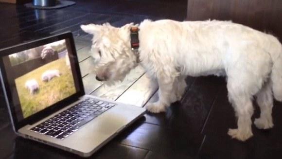 Westie este confuz! Crede că terrierii sunt blocați în ecran  - VIDEO