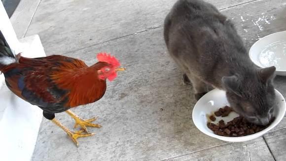 Când pisica şi cocoşul se bat pe mâncare… VIDEO