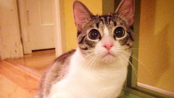 Povestea impresionantă a pisicii Roux, felina cu două lăbuţe. Imagini înduioşătoare